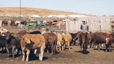 Recruitment For Feedlot Worker In Canada